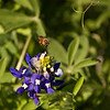 Bee encroaching upon an early blooming Texas bluebonnet. Taken in McAllister Park, San Antonio, TX